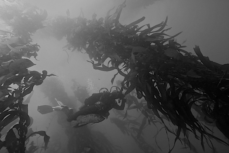 Discovery Deep Launches Kelp Forest Project